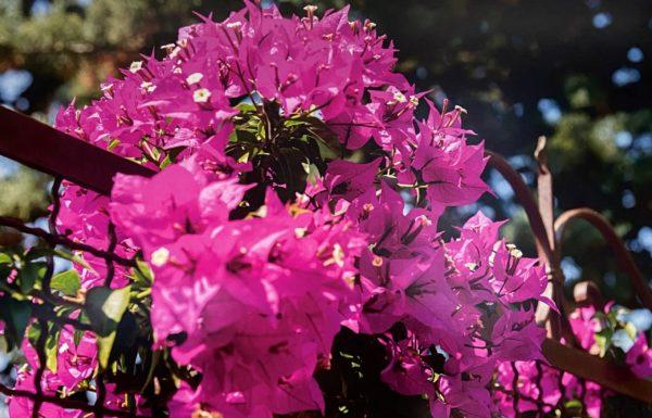 "16"" x 24"" photo print featuring pink azaleas"